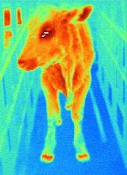 구제역에 걸린 소는 발굽에서 열이 나고, 식욕이 떨어지며 침을 자주 흘린다. - 위키미디어 제공